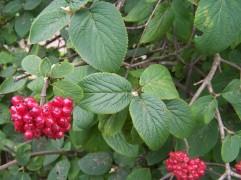 Fruits VL